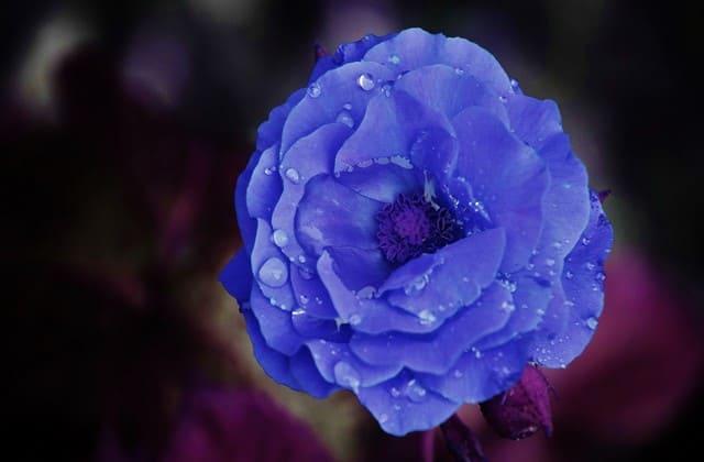setangkai mawar biru muda yang menarik hati