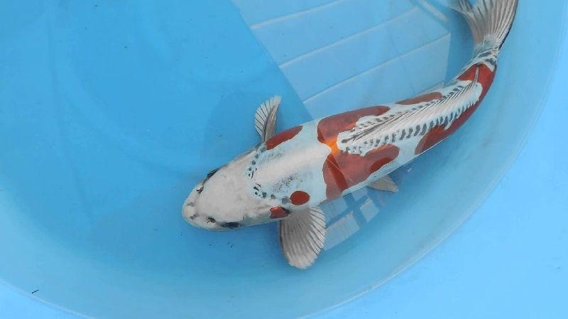 Jenis-Jenis Ikan Koi Beni Kin Kikokuryu