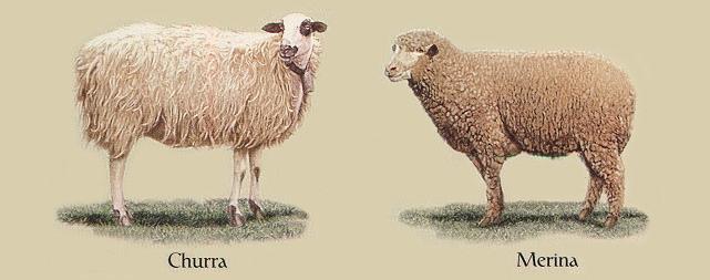 ovejas churras merinas psicologia psinergika