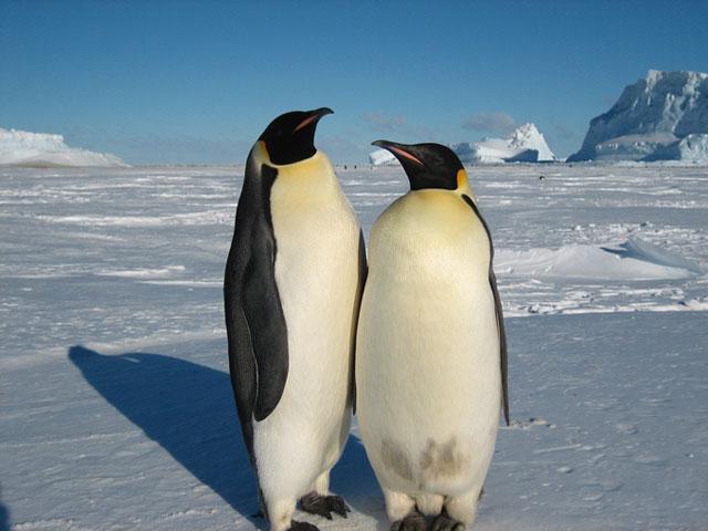 Pasangan Penguin Gay