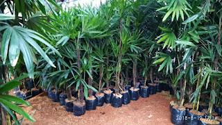 Jual pohon bambu regu