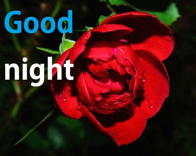 50 Good Night Rose Flower Allwhisen