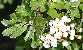 http://fr.wikipedia.org/wiki/Crataegus_azarolus