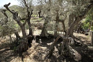the oldest olive tree