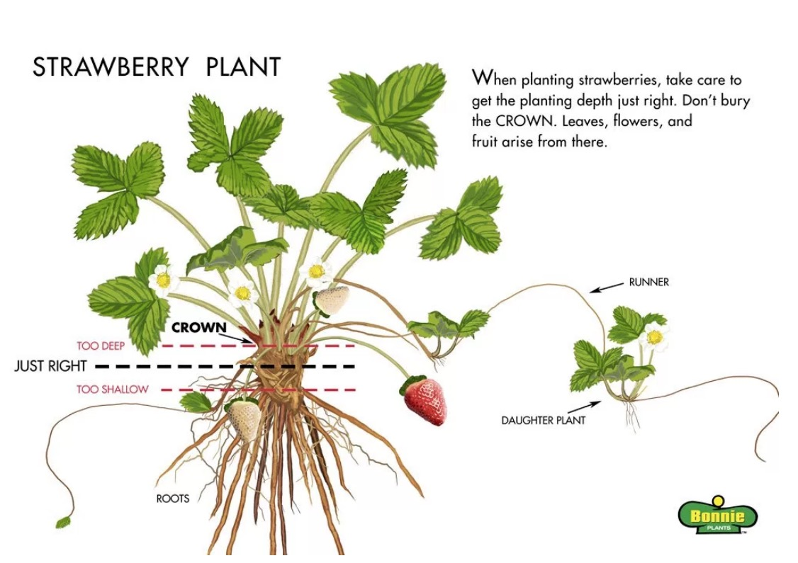 Cara Penjagaan Pokok Strawberry