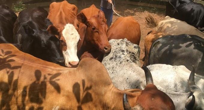 Ação contra abigeato em Gravataí apreende carne sem procedência e recupera animais bovinos