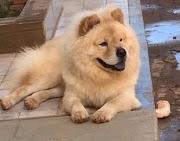 Câmeras de segurança registram que casal em um Biz levou o cachorro Chow Chow em Pedreiras
