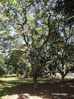 Kukui tree, Foster Botanical Garden - Honolulu, HI