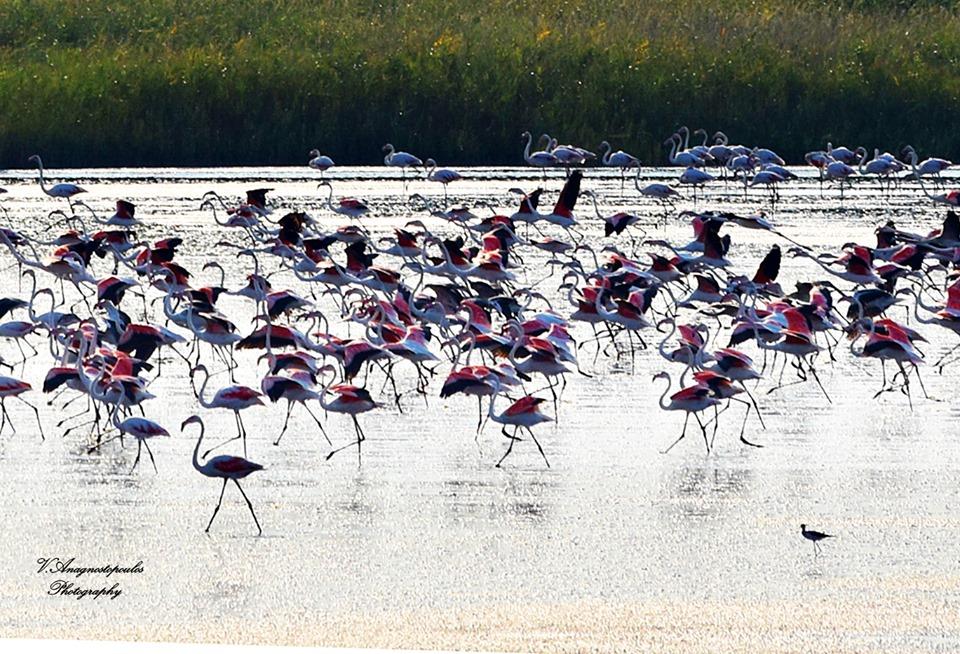 Ξάνθη: Σαγηνεύουν τα ροζ φλαμίνγκο στη λίμνη Βιστωνίδα