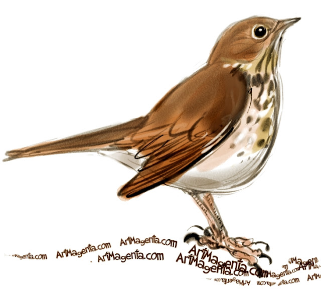 Hermit Thrush sketch painting. Bird art drawing by illustrator Artmagenta