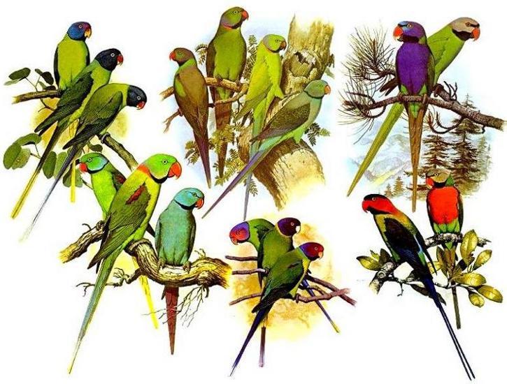 Aves da Família Psittacidae