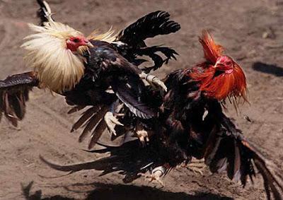 Agen Sabung Ayam S128 Terpercaya