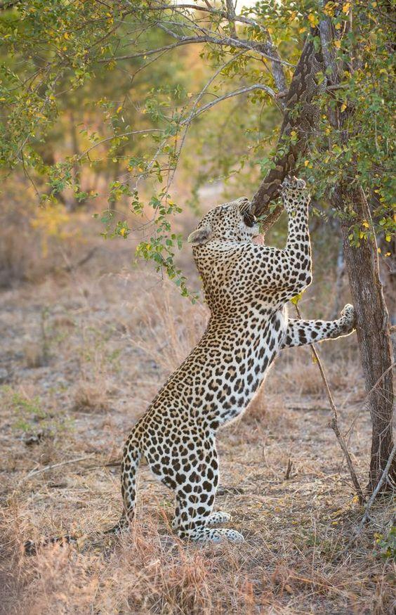 Leopardo (Panthera pardus)