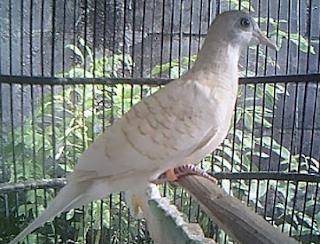 Burung Perkutut populer dengan suaranya yang melengking dan sanggup menciptakan pendengarnya te Kabar Terbaru- TEKNIK PERAWATAN PERKUTUT