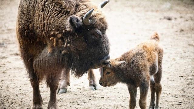 Bölényborjú született a Nyíregyházi Állatparkban