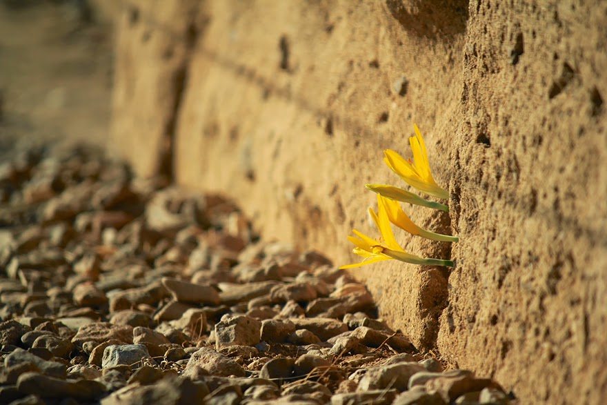 No matter what direction they need to grow in, these flowers are willing to do it if only to survive. - Life Finds A Way. 25 Plants That Just Won't Give Up
