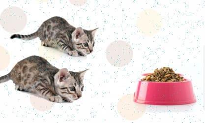Mengenal Makanan Basah dan kering Untuk Kucing