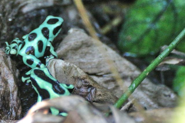 Ranas Verdes en Gamboa