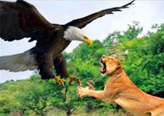 World's biggest eagle that feeds on eating wide animals