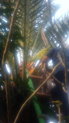 pohon kurma di indonesia