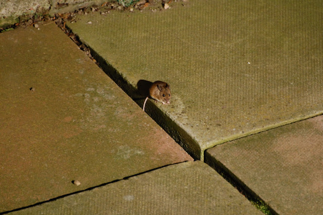 Wildlife photography a mouse playing with netting