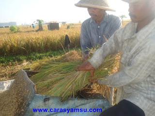 Proses perontokkan padi
