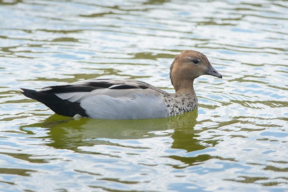Rohupart, Chenonetta jubata, Australian wood duck, Maned duck, Maned goose, part