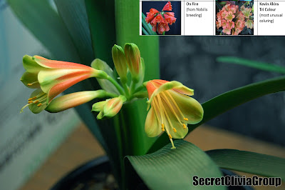 interspecific clivia