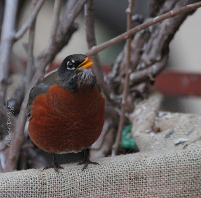 """This picture was taken in a NYC rooftop garden during winter so the containers have been wrapped in burlap for protection from cold temperatures. The focus of the image is a young robin who is standing on the burlap and appears to be looking up to her left at something unbeknownst to me. The bird's yellow beak is slightly open. The garden is the setting for my three volume book series, """"Words In Our Beak.""""  Robins are featured in the third volume. Info re these books is within another post within this blog @ https://www.thelastleafgardener.com/2018/10/one-sheet-book-series-info.html"""