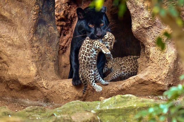 Loro Parque celebra el nacimiento de los mellizos de jaguar