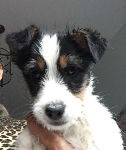 cachorro cruce fox terrier