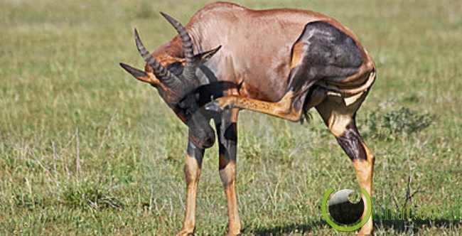 Topi Antelope Betina