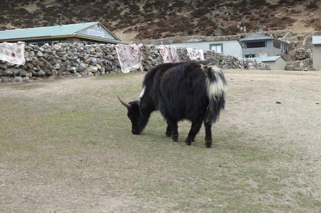 yak al pascolo a macchermo