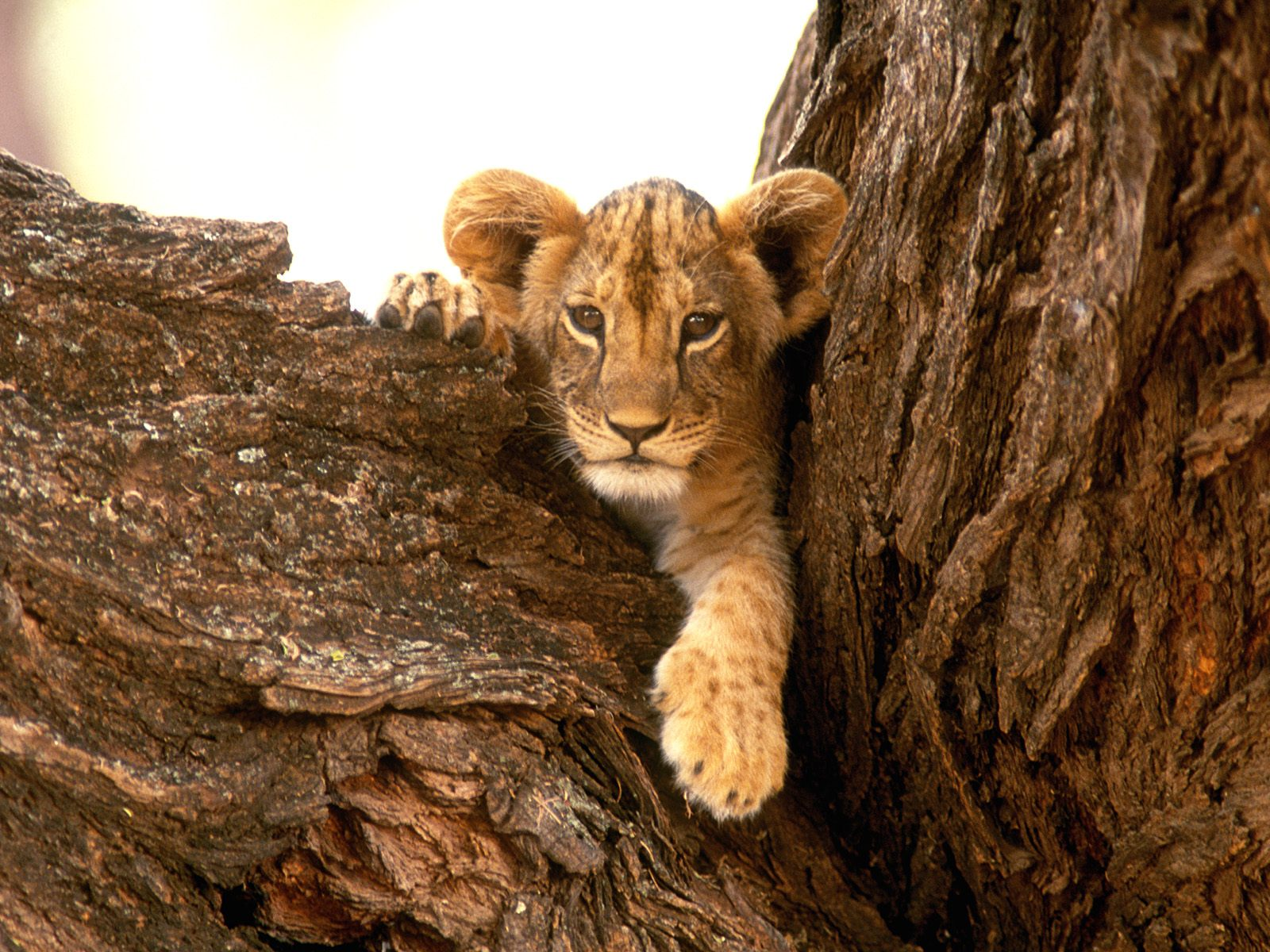 Lion wallpapers |Funny Animal
