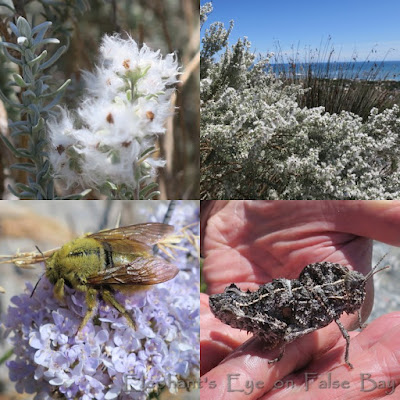 Wild rosemary and insects at Slangkop in October