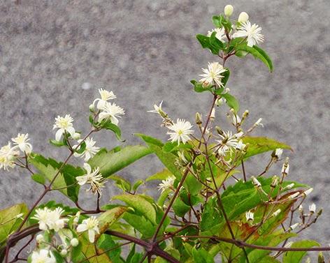 Clemátide o hierba del pordiosero (Clematis vitalba)