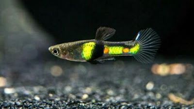 ikan livebearer