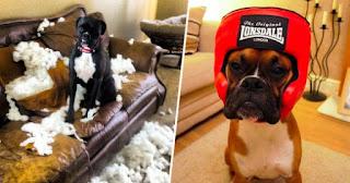 boxer travieso rompe sofa en su casa