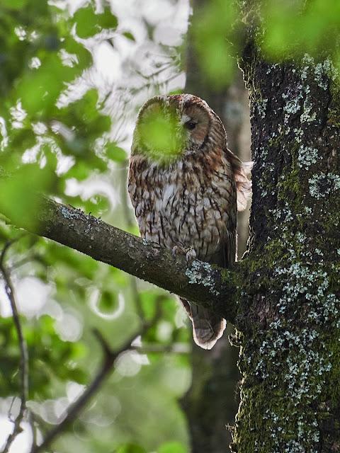 Tawny Owl failure