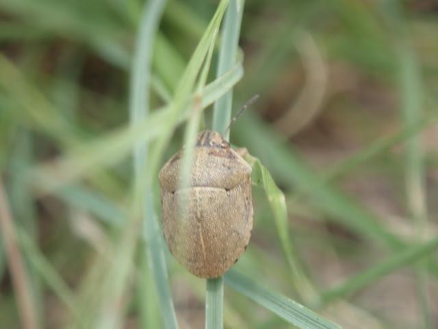 Sphyrocoris obliquus