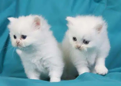 Karakter Kucing Tiffany