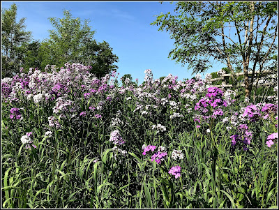 June 8, 2018 Driving home with the fragrance of phlox in the air
