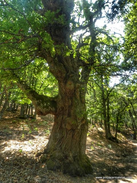 El Castañar de El Tiemblo, árboles curiosos