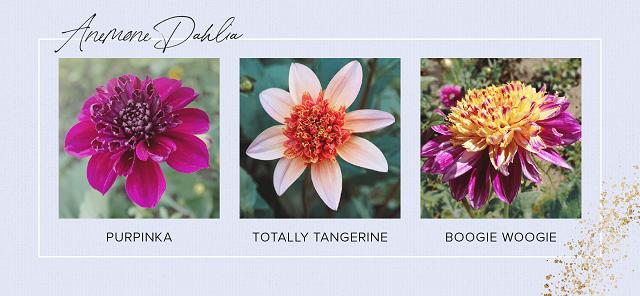 Gambar bunga dahlia Anemone