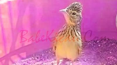 Cara Memilih Burung Beranjangan Jantan, Beranjangan Prospek,  dan Menjinakkan Beranjangan Giras
