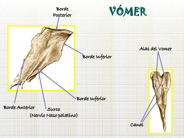 Anatomía del Cráneo y Cara: Huesos Impares de la Cara por Javier ...