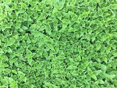 oregano,manfaat oregano,herbs