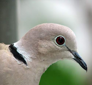 Eurasian collared dove - Streptopelia decaocto