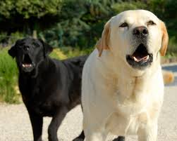 Por qué los perros ladran