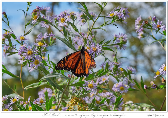 Fresh Pond: ... in a matter of days, they transform to butterflies...
